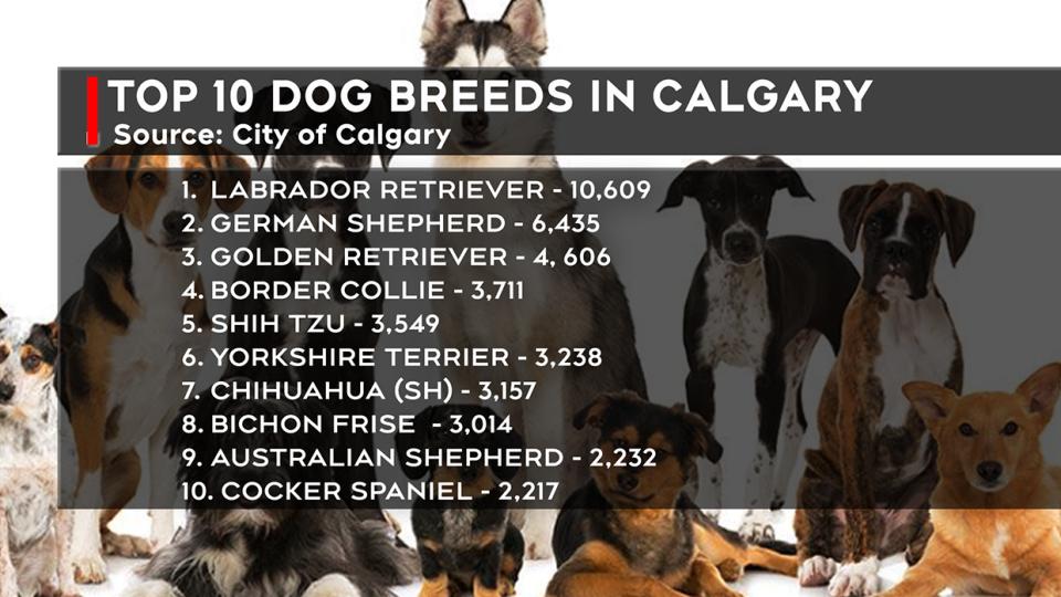 popular, dog, breeds, calgary, retrievers