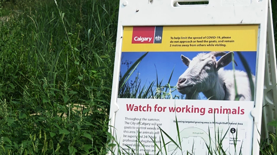 goats, weeds, calgary, parks
