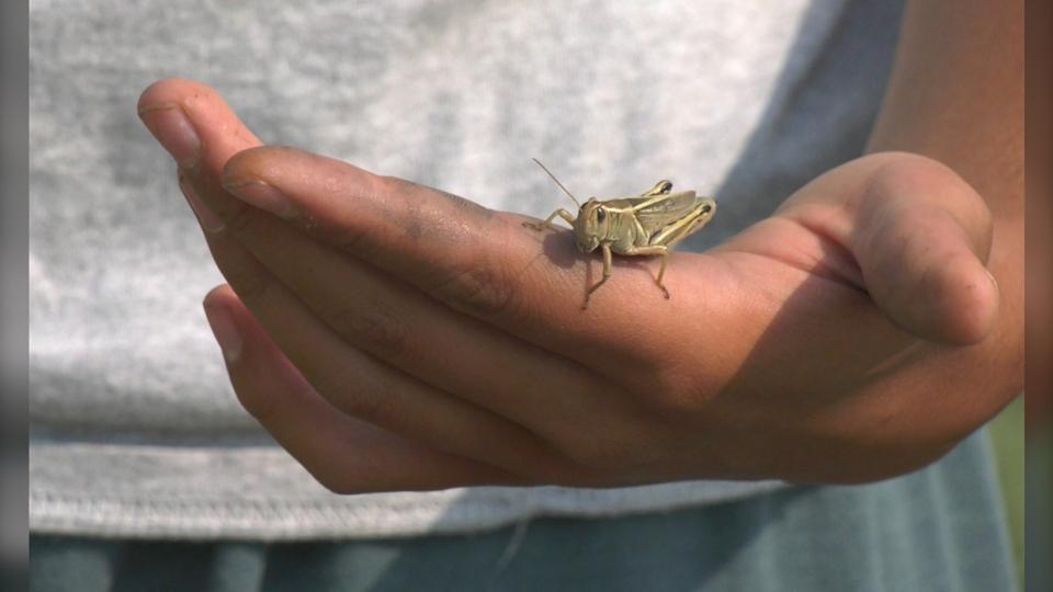 grasshoppers, southern, alberta, farmers