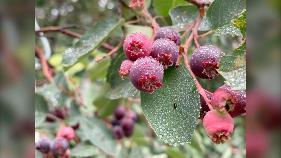 Calgary weather Kurt berries