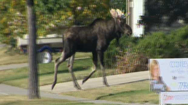 A moose is running through a northeast neighbourhood after it wandered into the city sometime on Wednesday morning.
